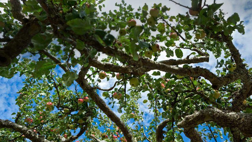 Apple tree on Salt Spring Island in British Columbia, Canada