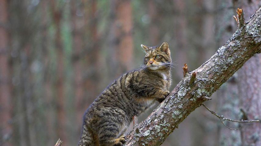 A Scottish wildcat in Cairngorms National Park, Scotland