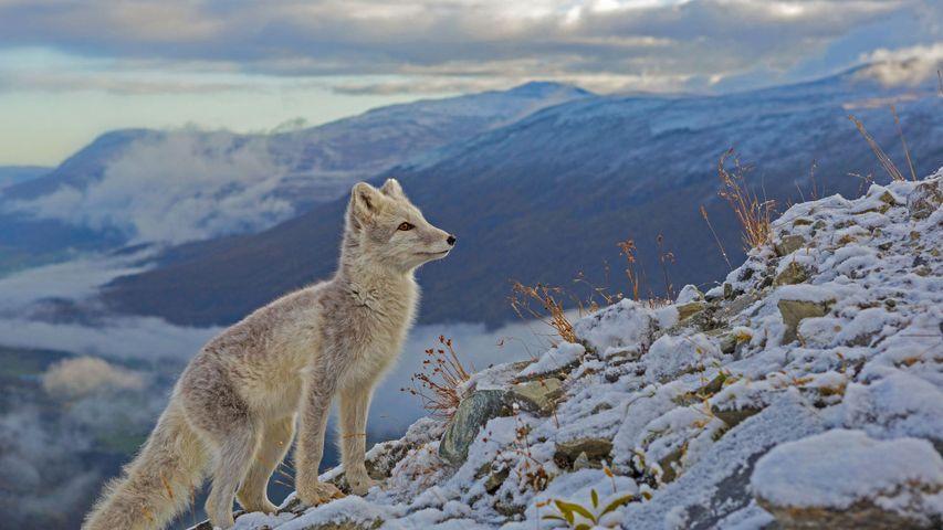 北极狐,挪威多夫勒山