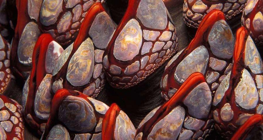 Gooseneck barnacles, British Columbia, Canada