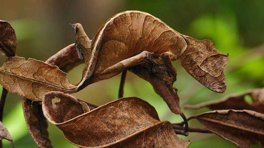 Blattschwanzgecko im Andasibe-Mantadia-Nationalpark, Madagaskar