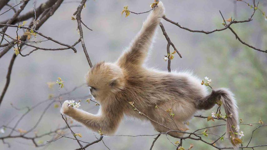 【今日立春】周至自然保护区内一只以樱花为食的金丝猴,中国陕西秦岭