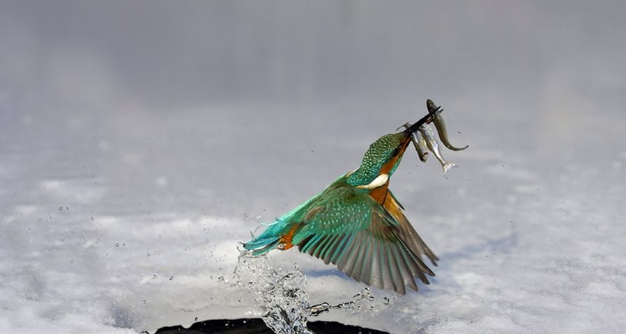 正在捕鱼的翠鸟破水而出