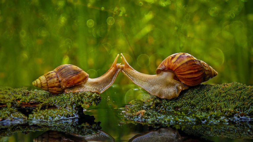 Snails 'kissing' in Sambas Regency, Indonesia