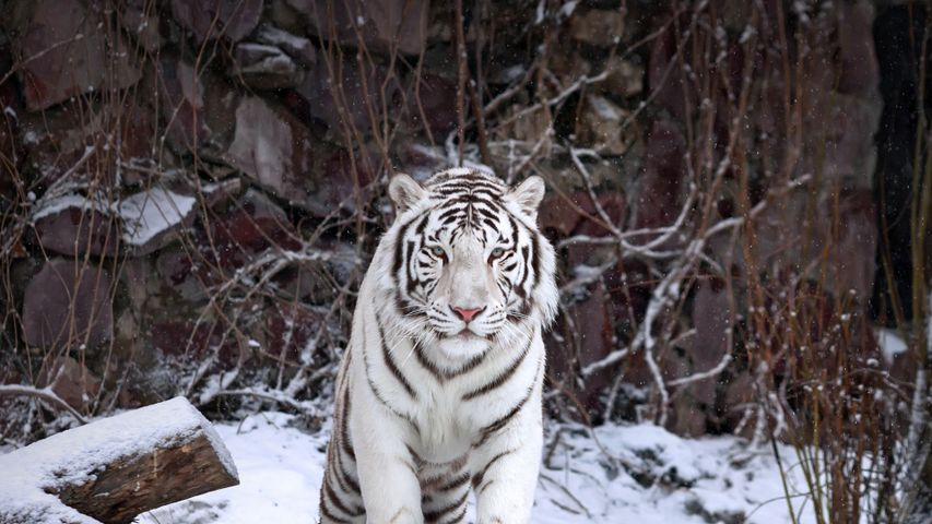 A white tiger at the Moscow Zoo, Moscow, Russia