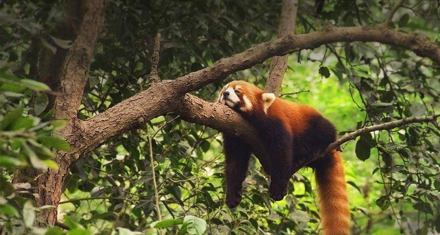 中国成都保护区内的小熊猫