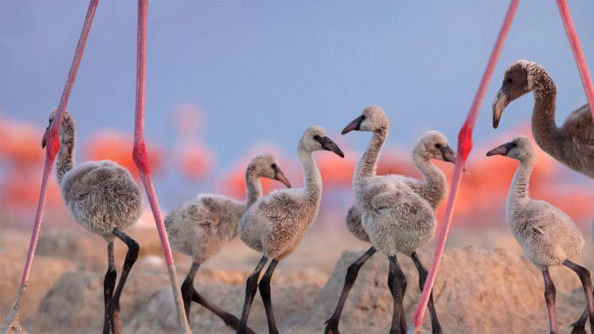 American flamingo chicks at the Ría Lagartos Biosphere Reserve, Yucatan Peninsula, Mexico