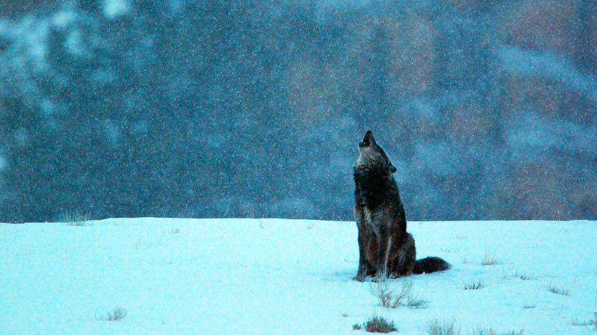 美国怀俄明州,黄石国家公园,灰狼在下雪的清晨仰天长啸