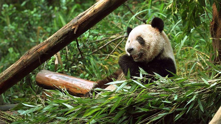 Panda eating a bamboo shoot, Chongqing Zoo, Chongqing, China