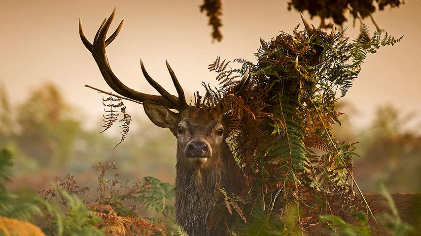 A male red deer in London's Richmond Park