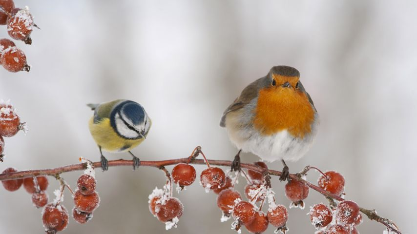 A robin and blue tit perched on a twig with frozen crab apples