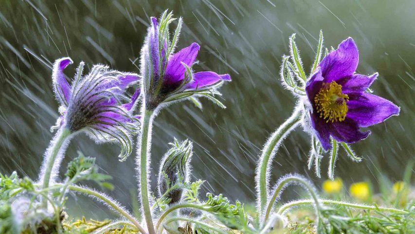 Anémone Pulsatille sous la pluie, Lorraine, France.