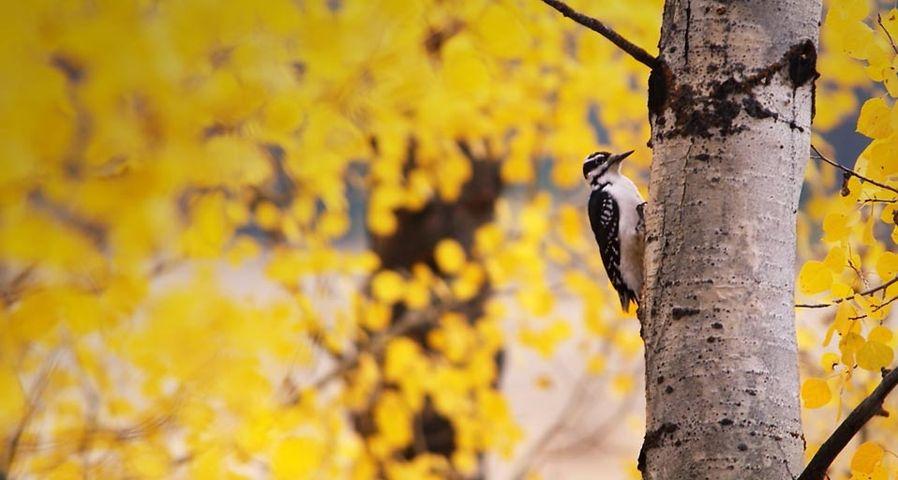 Woodpecker searching for food in aspen tree