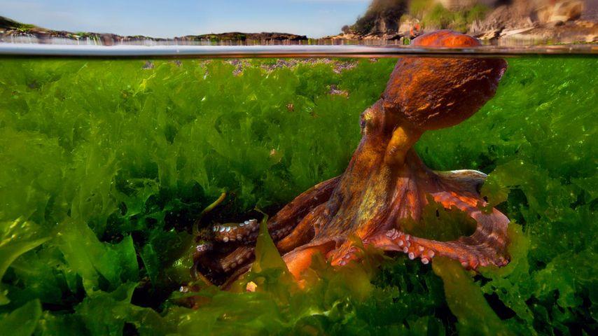 Common octopus in the Mediterranean Sea
