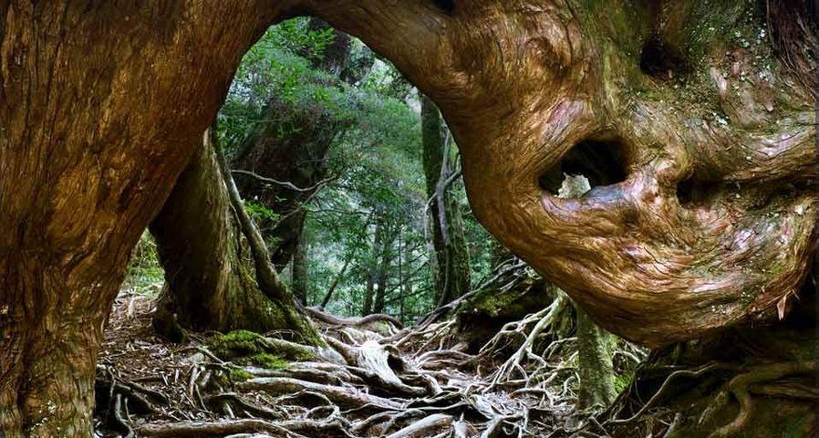 「白谷雲水峡」鹿児島県, 屋久島
