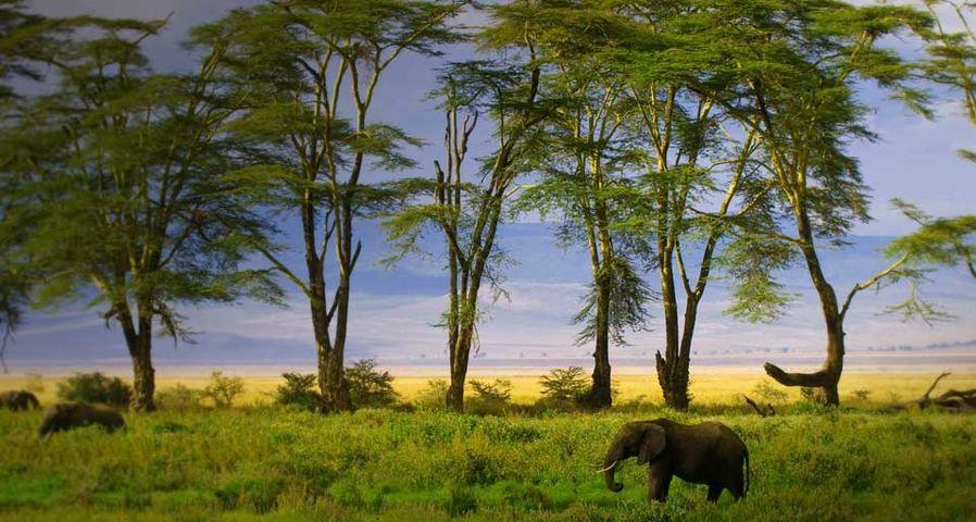 African Elephant in Ngorongoro Crater in Ngorongoro Conservation Area, Tanzania - Blaine Harrington III/Corbis ©