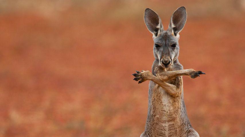 澳大利亚斯图尔特石漠里的红大袋鼠