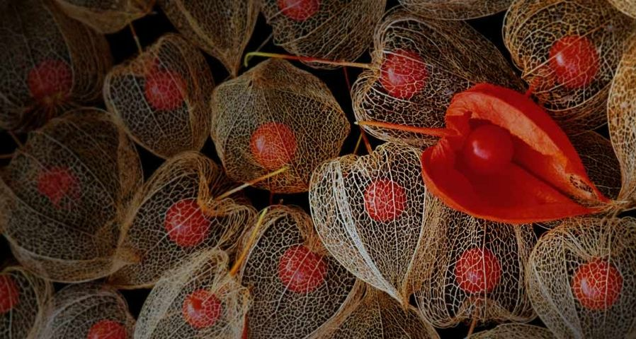 Dried casings and seeds of the Chinese lantern plant