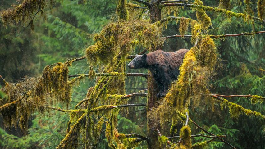 An adult black bear in the Tongass National Forest of Alaska