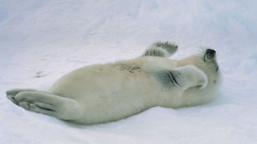 Harp seal pup at the Gulf of St. Lawrence, Canada