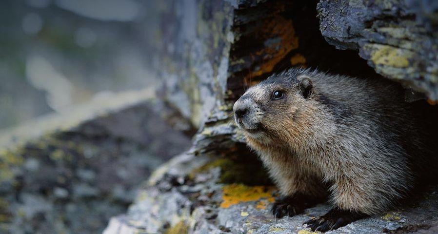 Groundhog – Greg Scott/Masterfile ©
