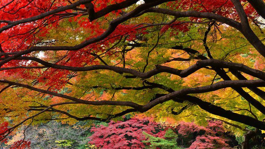 「新宿御苑の紅葉」東京,  新宿