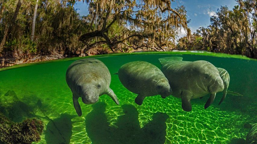 Manatees in Blue Spring State Park, Florida