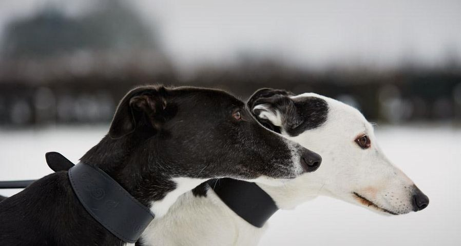Dogs from the Retired Greyhound Trust in Norfolk, England, photographed as part of Bing Help Your Britain