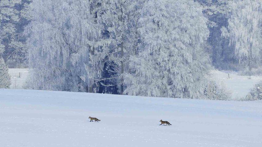 Renards en balade dans la neige, Vosges, France