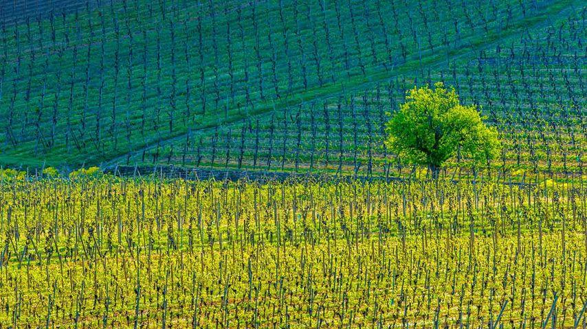基安特赞小镇上的葡萄园,上莱茵,阿尔萨斯,法国
