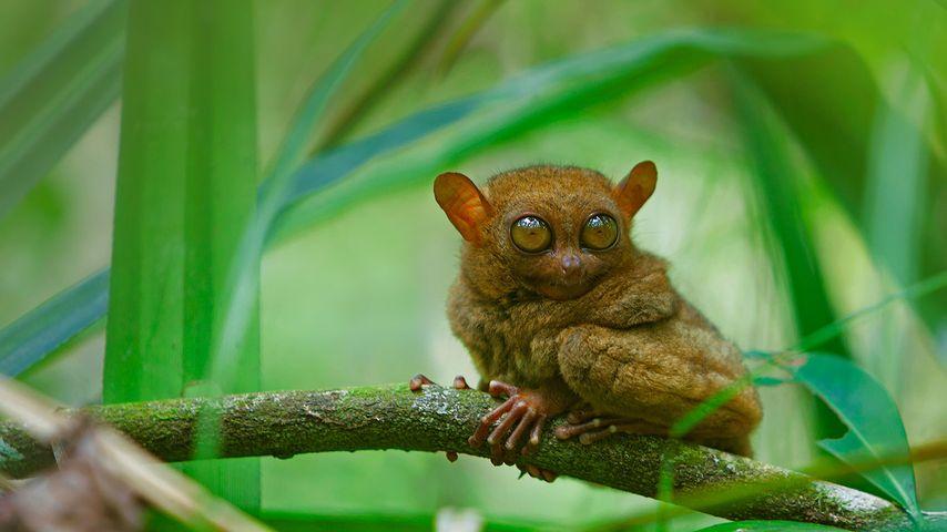 A tarsier at rest, Bohol Island, Philippines