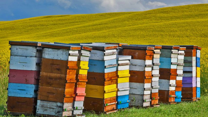 Beehive boxes in the Pembina Valley Region, Manitoba, Canada, for Honey Bee Day