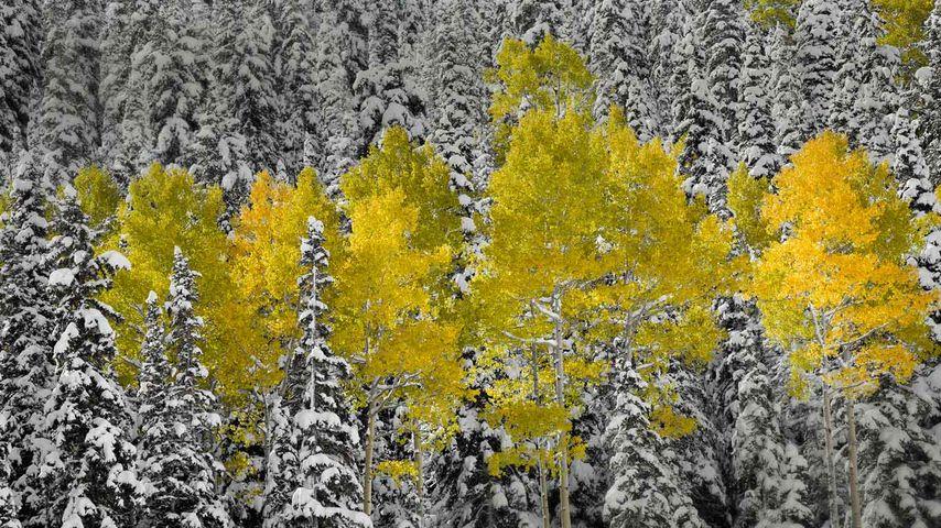 Aspen trees in autumn foliage, San Juan Mountains near Telluride, Colorado