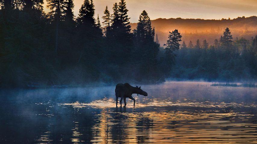 Elch im Isle-Royale-Nationalpark, Michigan, USA