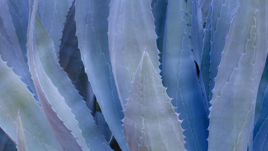 Nahaufnahme einer blauen Agave
