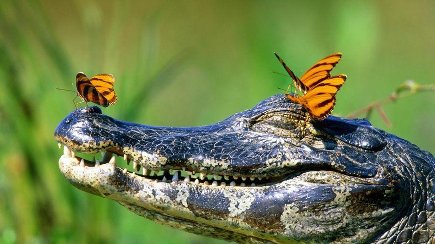 Butterflies resting on a caiman in the Pantanal, Brazil