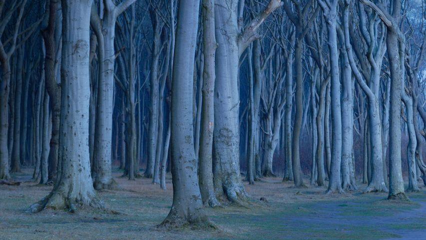 Coastal beech forest, Nienhagen, Germany