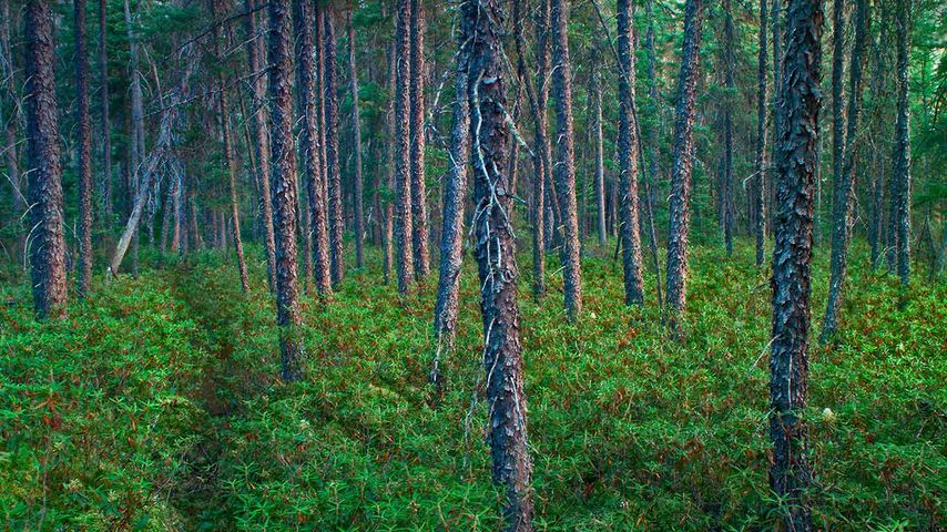 Black spruce trees in Superior National Forest, Minnesota