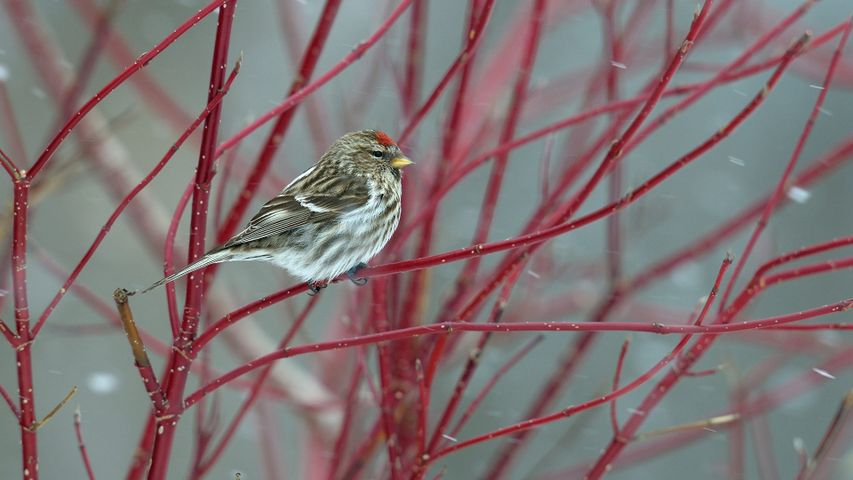 Common redpoll perched on a branch in snow, Quebec