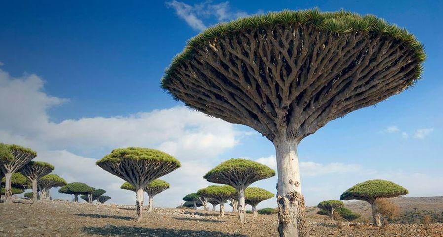 也门索科特拉岛上的龙血树