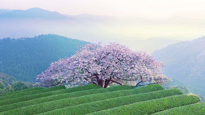「遠山桜」熊本, あさぎり町