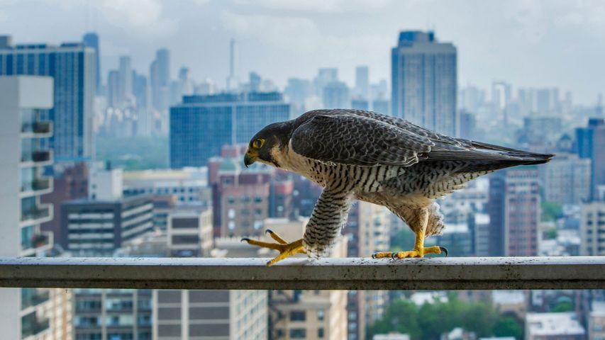 A peregrine falcon surveys the concrete canyons of Chicago