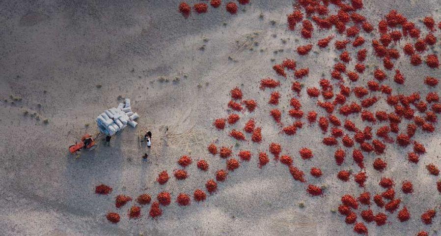 新疆的农民在晒红辣椒
