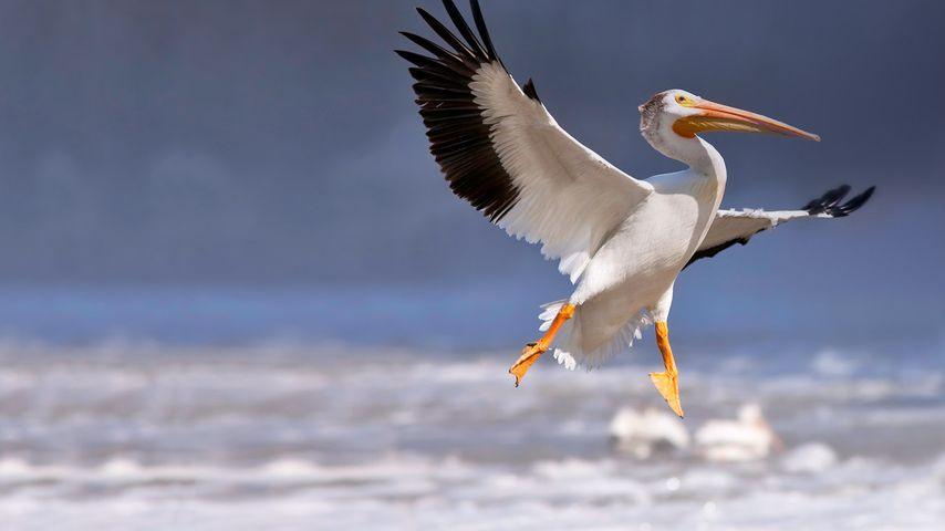 American white pelican in flight, Red River, Lockport, Manitoba, Canada