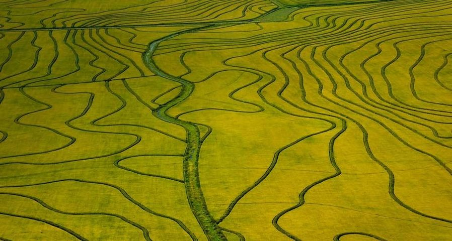 Vue aérienne de champs de riz en pleine maturation, Uruguay