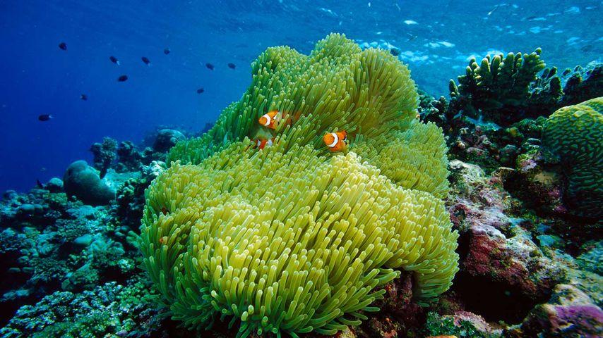 Prachtanemone mit Malediven-Anemonenfischen