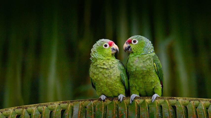 Red-lored parrots in Ecuador
