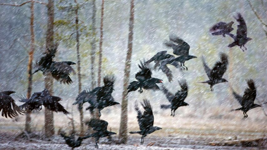 Ravens in a snowstorm near Kuhmo, Finland
