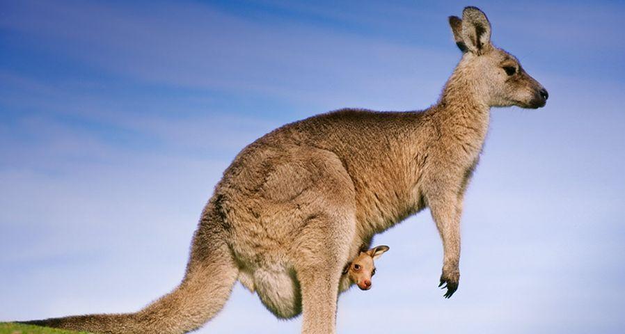 「オオカンガルーの親子」オーストラリア