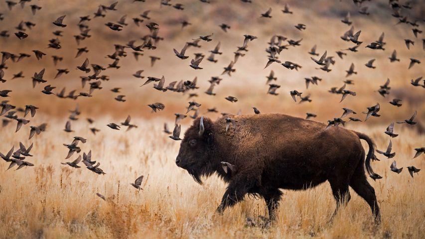American bison in Antelope Island State Park, Utah
